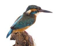 El martín pescador Fotos de archivo libres de regalías