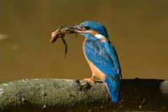 El martín pescador Imagen de archivo