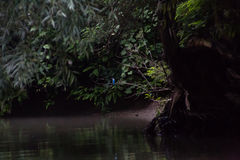 El martín pescador ocultado Foto de archivo