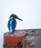 El martín pescador salvaje se sentó en el borde de los ladrillos de la cerradura imagen de archivo libre de regalías