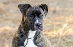 El mastín berrendo de Pitbull de la caja del dogo mezcló fotografía de la adopción del perro de la raza Fotografía de archivo libre de regalías