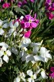 El Matthiola Incana florece el primer, acción canosa, acción de Tenweeks, Violaciocca Imagen de archivo libre de regalías