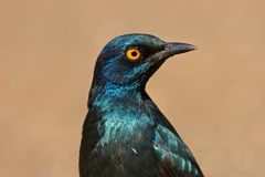 El mayor starling azul-espigado Imagen de archivo libre de regalías