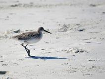 El mayor Yellowleg es un ave marina relativamente grande que puede ser vista en las playas de la Florida fotografía de archivo