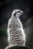 El Meerkat Imagenes de archivo