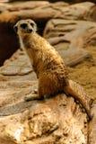 El meerkat de la naturaleza Fotos de archivo