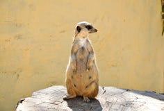 El meerkat en un trozo en el parque de Friguia. Túnez. Fotos de archivo