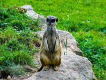 El meerkat hermoso mira en guardia - mirando alrededor fotos de archivo libres de regalías