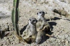 El meerkat o el suricate (suricatta del Suricata) fotografía de archivo libre de regalías