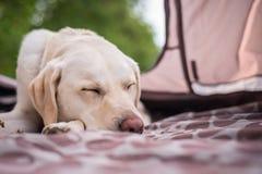 El mejor amigo toma una siesta Imagenes de archivo