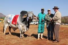 El mejor animal masculino del toro blanco del brahmán y campeón total Foto de archivo libre de regalías