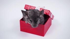 El mejor regalo - chinchilla en una caja roja metrajes