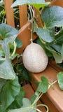 El melón del cantalupo crece en un paso Fotos de archivo