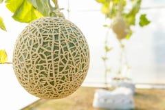 El melón en invernaderos Fotografía de archivo libre de regalías