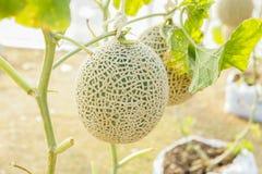 El melón en invernaderos Fotos de archivo