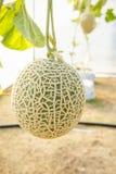 El melón en invernaderos Imagen de archivo libre de regalías