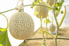 El melón en invernaderos Fotos de archivo libres de regalías