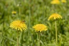 El mellifera de los Apis de la abeja de la miel recoge el néctar en el flo amarillo Imagen de archivo libre de regalías