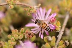 El mellifera de los Apis de la abeja recolecta el néctar Fotografía de archivo libre de regalías