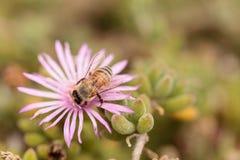 El mellifera de los Apis de la abeja recolecta el néctar Foto de archivo