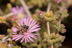 El mellifera de los Apis de la abeja recolecta el néctar Imagen de archivo