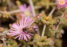 El mellifera de los Apis de la abeja recolecta el néctar Fotografía de archivo