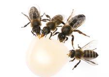 El mellifera de los apis de los trabajadores de la reina madre de la abeja y de la abeja está bebiendo la miel Fotografía de archivo