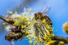 El mellifera de los Apis de la abeja de la miel que poliniza la flor amarilla de la cabra lo va a hacer Fotos de archivo
