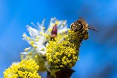 El mellifera de los Apis de la abeja de la miel que poliniza la flor amarilla de la cabra lo va a hacer Foto de archivo libre de regalías