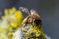 El mellifera de los Apis de la abeja de la miel que poliniza la flor amarilla de la cabra lo va a hacer Imagenes de archivo