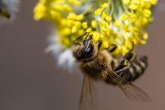 El mellifera de los Apis de la abeja de la miel que poliniza la flor amarilla de la cabra lo va a hacer Fotos de archivo libres de regalías