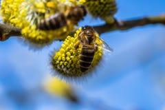 El mellifera de los Apis de la abeja de la miel que poliniza la flor amarilla de la cabra lo va a hacer Imágenes de archivo libres de regalías