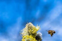 El mellifera de los Apis de la abeja de la miel que poliniza la flor amarilla de la cabra lo va a hacer Foto de archivo