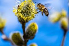 El mellifera de los Apis de la abeja de la miel que poliniza la flor amarilla de la cabra lo va a hacer Fotografía de archivo