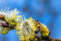 El mellifera de los Apis de la abeja de la miel que poliniza la flor amarilla de la cabra lo va a hacer Imagen de archivo