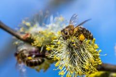 El mellifera de los Apis de la abeja de la miel que poliniza la flor amarilla de la cabra lo va a hacer Fotografía de archivo libre de regalías