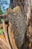 El mellifera de los apis de las abejas que vivía en árbol, el árbol estaba quebrado durante una tormenta Fotos de archivo
