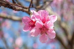 El melocotón dulce florece en la primavera temprana, comida de las abejas Fotos de archivo libres de regalías