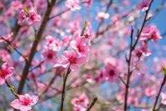 El melocotón dulce florece en la primavera temprana, comida de las abejas Foto de archivo