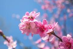 El melocotón dulce florece en la primavera temprana, comida de las abejas Fotografía de archivo libre de regalías
