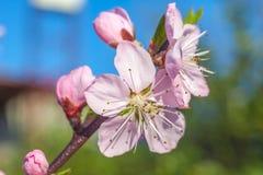 El melocotón dulce florece en la primavera temprana, comida de las abejas Fotografía de archivo