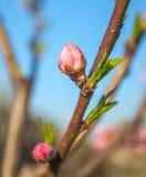 El melocotón dulce florece en la primavera temprana, comida de las abejas Imágenes de archivo libres de regalías