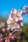 El melocotón dulce florece en la primavera temprana, comida de las abejas Fotos de archivo
