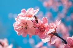 El melocotón dulce florece en la primavera temprana, comida de las abejas Imagen de archivo