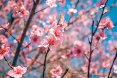 El melocotón dulce florece en la primavera temprana, comida de las abejas Foto de archivo libre de regalías