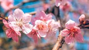 El melocotón dulce florece en la primavera temprana, comida de las abejas Imagen de archivo libre de regalías