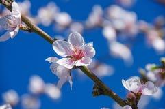 El melocotón florece en una rama con el fondo borroso Fotos de archivo