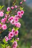 El melocotón florece las flores rosadas Imagen de archivo libre de regalías