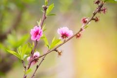 El melocotón florece las flores rosadas Imagenes de archivo