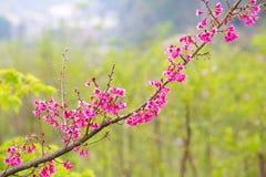 El melocotón florece las flores rosadas Imágenes de archivo libres de regalías